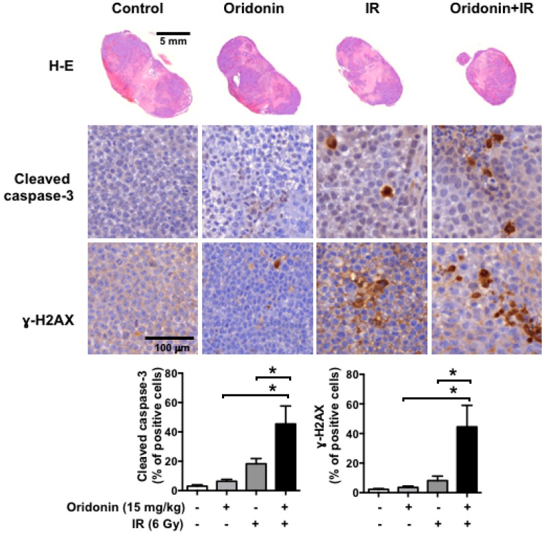 Histopathological analysis of H460 tumors following combination treatment with oridonin and radiation. Hematoxylin and eosin (H-E) staining and immunohistochemistry for cleaved caspase-3 and <t>γ-H2AX</t> were performed on tumors harvested at 14 days after IR. Representative images of H-E-stained tumors ( upper images ) and cleaved caspase-3- and γ-H2AX-positive cells ( middle images , brown staining) and quantification of cleaved caspase-3 and γ-H2AX-positive staining with six mice in each group ( lower plots , means ± SEM) are shown; * p