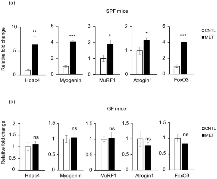 Metronidazole causes changes in the expression of skeletal muscle atrophy genes. Real-time quantitative PCR analysis of Hdac4 , myogenin , MuRF1 , atrogin1 , and FoxO3 expression in gastrocnemius of metronidazole-treated and nontreated ( a ) SPF and ( b ) GF mice. N = 5 mice per group. Data presented as means ± SEM. Asterisks indicate statistically significant differences (*, p