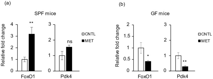 Metronidazole affects the expression of skeletal muscle metabolism genes. Real-time quantitative PCR analysis of FoxO1 and Pdk4 expression in gastrocnemius of metronidazole-treated and nontreated ( a ) SPF and ( b ) GF mice. N = 5 mice per group. Data presented as means ± SEM. Asterisks indicate statistically significant differences (*, p