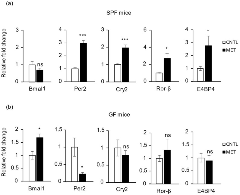 Metronidazole alters skeletal muscle core clock and clock effector gene expression. Real-time quantitative PCR analysis of Bmal1 , Per2 , Cry2 , Ror - β , and E4BP4 expression in gastrocnemius of metronidazole-treated and nontreated ( a ) SPF and ( b ) GF mice. N = 5 mice per group. Data presented as means ± SEM. Asterisks indicate statistically significant differences (*, p