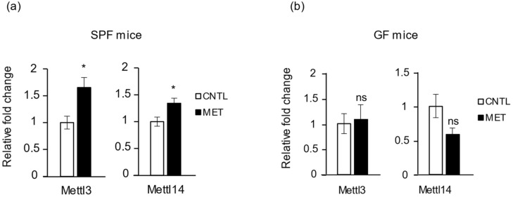 Metronidazole disrupts skeletal muscle RNA epigenetics. Real-time quantitative PCR analysis of RNA m 6 A methyltransferases Mettl3 and Mettl14 expression in gastrocnemius muscle of metronidazole-treated and nontreated ( a ) SPF and ( b ) GF mice. N = 5 mice per group. Data presented as means ± SEM. Asterisks indicate statistically significant differences (*, p
