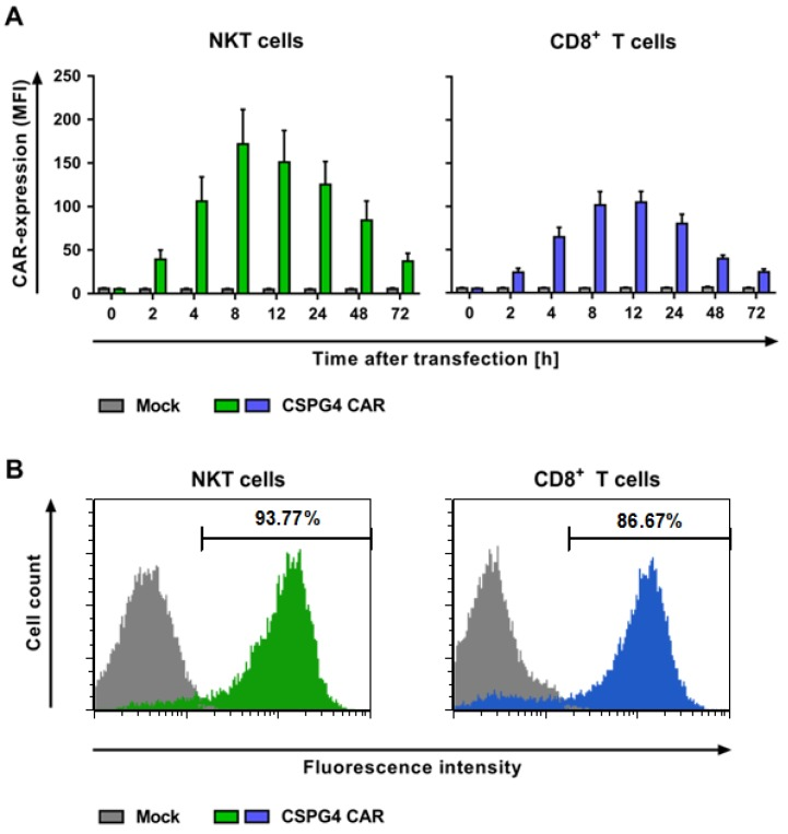 NKT cells can be efficiently transfected with a chondroitin sulfate proteoglycan 4 (CSPG4)-specific chimeric antigen receptor (CAR) using RNA electroporation. The NKT and CD8 + T cells were isolated and expanded as described in Figure 1 . After 10–11 days, the cell populations were either transfected without mRNA (mock) as controls or with mRNA encoding a CSPG4-specific CAR. ( A ) The expression kinetics of the CAR-electroporated cells at indicated timepoints are shown. The CAR expression of the NKT (green bars) and CD8 + T cells (blue bars) was detected by using an anti-IgG1 antibody. The mock-transfected cells served as controls (grey bars). The data represent the average geometric mean values of 5–7 independent experiments with SEM. The p -values were calculated by unpaired Student's t -test and are listed in Table S3 . ( B ) Representative histograms at the peak of the CAR expression of both of the cell populations at 8 h after electroporation. The NKT cells are displayed as the green-filled histogram, and the CD8 + T cells as the blue-filled histogram. The mock-transfected cells served as controls (grey-filled histograms). The staining for the CAR expression was performed using the abovementioned antibody. The data of one representative out of 5–7 independent experiments are shown.