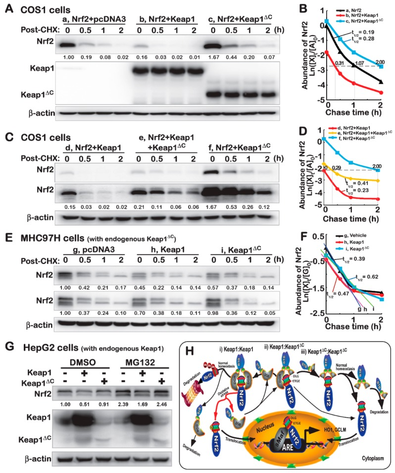 Keap1 ΔC has an antagonist effect on the Keap1-mediated turnover of Nrf2. ( A – D ) COS-1 cells were transfected with an Nrf2 expression plasmid alone or plus other plasmids V5-Keap1, V5-Keap1 ΔC or both, and then treated with 50 μg/mL of cycloheximide (CHX) for distinct indicated lengths of time. The total lysates were determined by Western blotting with antibodies against Nrf2, Keap1, or its V5 tag, respectively. Subsequently, the intensity of blots was quantified and shown on the bottom ( A , C ). Of note, relative abundances of Nrf2 and its stability were determined with a changing half-life within distinct setting status, which were calculated and shown graphically ( B , D ). ( E , F ) MHCC97H and ( G ) HepG2 cells were transfected with an expression construct for V5-Keap1, V5-Keap1 ΔC or empty plasmids, before being treated with 50 μg/mL of CHX for indicated times or 10 μMol/L of MG132 for 4 h, prior to being harvested in a lysis buffer. Then, distinct abundances of endogenous Nrf2 proteins were examined by immunoblotting ( E , G ). The stability of endogenous Nrf2 protein was also determined with a varying half-life within distinct setting contexts, which was shown graphically ( F ). ( H ) A model is proposed to give a clear explanation of Keap1 ΔC , acting as a dominant-negative competitor of Keap1. This is due to the fact that Keap1 ΔC can occupy the place in the formation of an invalid dimer with Keap1 or itself, no matter whether it only retains less or no ability to inhibit Nrf2. It is important to note that this mutant Keap1 ΔC has an antagonist effect on Keap1-mediated turnover of Nrf2 by proteasomal degradation pathway. In addition, upon dissociation of Nrf2 from Keap1, the CNC-bZIP factor will be allowed for spatiotemporal translocation into the nucleus before transactivating ARE-driven cytoprotective genes against oxidative stress or other biological stimuli.
