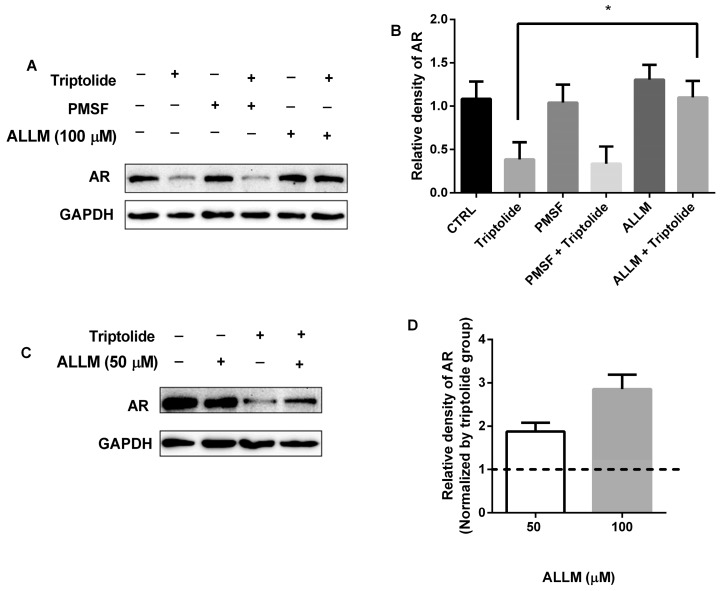 ALLM blocked the AR down-regulation in the presence of triptolide. ( A ) LNCaP cells were co-treated with triptolide (100 nM) and ALLM (100 μM) or PMSF (100 μM) for 24 h, the AR protein level was analyzed by western blot assay; ( B ) The relative density of AR (normalized with GAPDH in western blot assay) after LNCaP cells were co-treated with triptolide (100 nM) and ALLM (100 μM) or PMSF (100 μM) for 24 h; ( C ) The western bolt assay of AR protein levels in LNCaP cells after the cells were co-treated with triptolide (100 nM) and ALLM (50 μM); ( D ) The relative density of AR (normalized with triptolide) after the cells were co-treated with triptolide (100 nM) and ALLM (50 and 100 μM). (* p