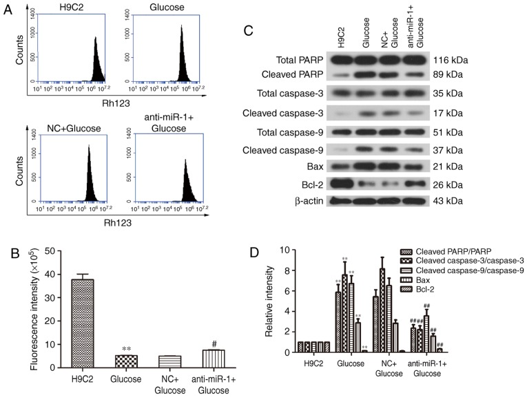 Effect of miR-1 silencing on glucose-induced apoptosis. (A) Effect of miR-1 silencing on glucose-induced mitochondrial dysfunction in H9C2 cells. (B) Quantification of fluorescence intensity. (C) The expression of apoptosis-associated proteins, including Bcl-2, Bax, total/cleaved caspase-3, total/cleaved caspase-9 and total/cleaved PARP in H9C2 cells. (D) Quantitative analysis of western blot analysis results. **P