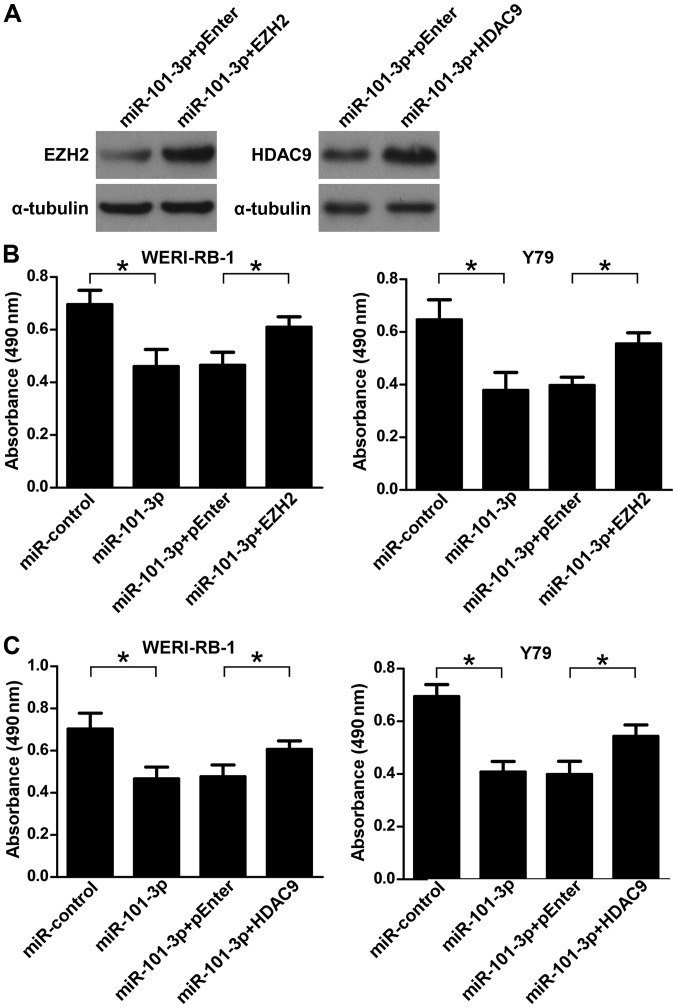 Restoration of EZH2 or HDAC9 expression reverses the effect of <t>miR-101-3p</t> on WERI-RB-1 and Y79 cells. (A) Overexpression of EZH2 or HDAC9 in indicated cells was confirmed by performing western blotting. (B) WERI-RB-1 and Y79 cells were transfected with miR-control or miR-101-3p, and <t>pEnter</t> or pEnter-EZH2. Cell viability was determined by an MTT assay. (C) WERI-RB-1 and Y79 cells were transfected with miR-control or miR-101-3p, and pEnter or pEnter-HDAC9. Cell viability was determined by an MTT assay. *P