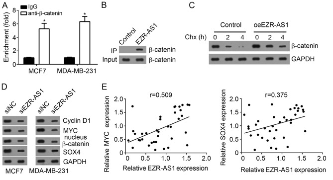 EZR-AS1 protects β-catenin from degradation and activates the Wnt/β-catenin pathway in BC cells. (A) RNA immunoprecipitation assays indicated that EZR-AS1 was enriched by anti-β-catenin in MCF7 and MDA-MB-231 cells. (B) An RNA pull-down assay indicated that β-catenin was precipitated by biotin-labeled EZR-AS1. (C) EZR-AS1 overexpression prevented β-catenin degradation in MCF7 cells. (D) Western blotting was performed to assess the effect of EZR-AS1 knockdown on nuclear β-catenin, MYC, SOX4 and Cyclin D1 expression in MCF7 and MDA-MB-231 cells. (E) Correlation between EZR-AS1 and MYC or SOX4 in BC tissues. *P