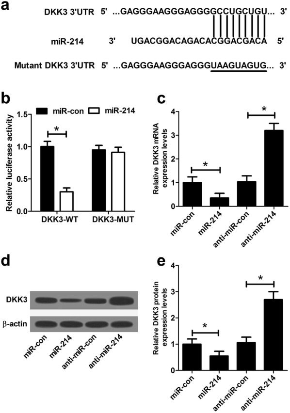 Dkk3 was a target of miR-214 in NRK-52E cells. a The predictive wild-type miR-214 binding sites in the 3′UTR of Dkk3 and the corresponding mutant binding sites were displayed. b The relative luciferase activity was measured by luciferase reporter assay after NRK-52E cells were cotransfected with Dkk3 -WT or Dkk3 -MUT and miR-214 or miR-con. The mRNA ( c ) and protein ( d , e ) levels of DKK3 were examined by qRT-PCR and western blot in NRK-52E cells introduced with miR-214, anti-miR-214, or matched controls. Each experiment was independently repeated 3 times. * P