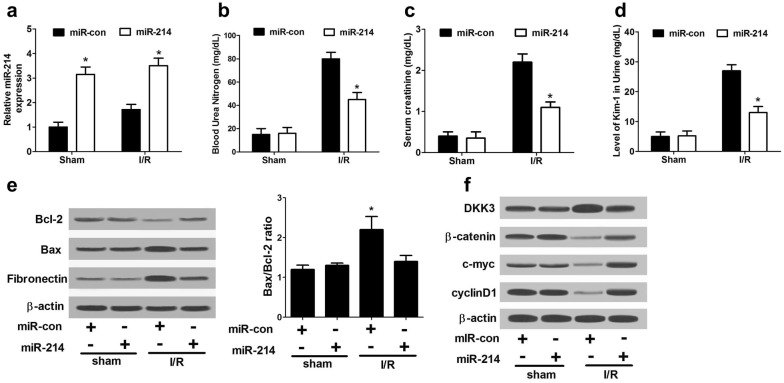 miR-214 protected against AKI in vivo through targeting Dkk3 and activating Wnt/β-catenin pathway. miR-214 or miR-con was intraperitoneally injected into mice, followed by ischemic surgery. a qRT-PCR analysis of miR-214 expression in I/R-induced rat AKI model and sham mice. The serum levels of BUN ( b ), SCr ( c ), and Urine Kim-1 ( d ) level in I/R-induced rat AKI model and sham mice. e Western blot analysis of Bcl-2, Bax and fibronectin in I/R-induced rat AKI model and sham group. f The protein levels of DKK3, β-catenin, c-myc, and cyclin D1 in I/R-induced rat AKI model and sham group. Each experiment was independently repeated 3 times. * P