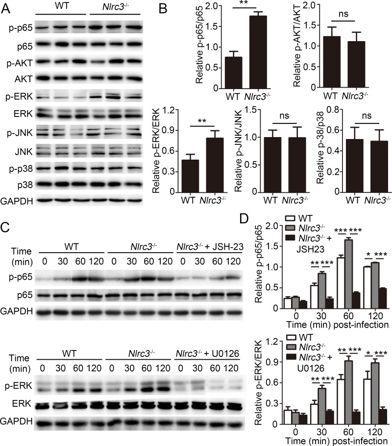 NLRC3 negatively regulates NF-κB and ERK Signaling in CD4 + T cells. (A-B) Purified WT or Nlrc3 -/- naïve CD4 + T cells were adoptively transferred into Rag2 -/- mice. Then recipient mice were infected with M . tuberculosis and were harvested at 3w.p.i.. Lungs were collected. (A) Immunoblot analysis of lung lysates. Each lane represents an individual mouse. (B) Densitometry quantification of band intensity for A. (C-D) Purified WT and Nlrc3 -/- CD4 + T cells were stimulated with anti-CD3 (1 μg/ml) plus anti-CD28 (1 μg/ml) in the presence or absence of the NF-κB inhibitor JSH-23 (20 μM) or MEK1/2-inhibitor U0126 (40 μM). (C) Lysates were probed for total and phosphorylated p65 (p-p65), p65, p-ERK, ERK and GAPDH. (D) Densitometry quantification of band intensity for C. Data shown in (B and D) are the mean ±SD. * P