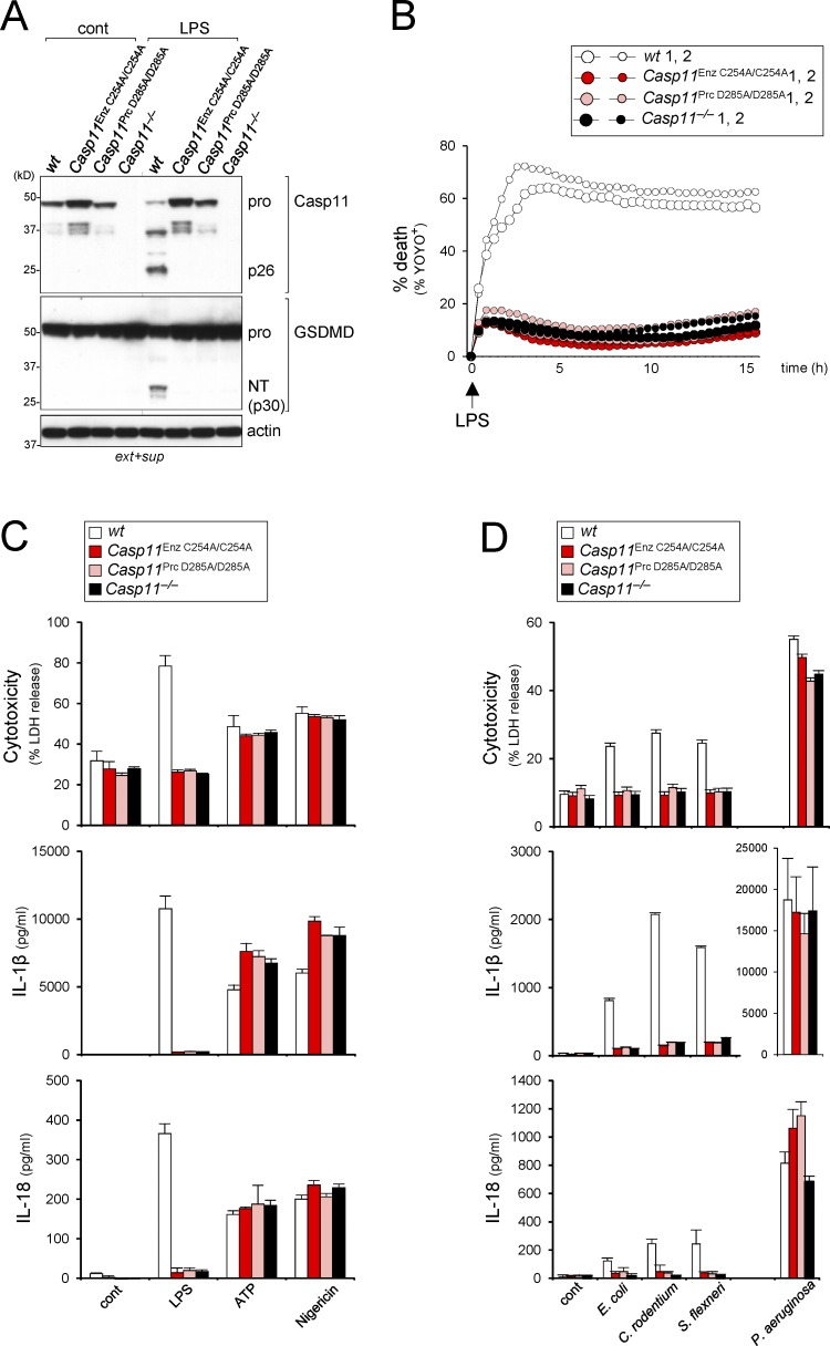 Caspase-11 auto-processing at Asp 285 is essential for GSDMD processing, pyroptosis, and IL-1β release. (A–D) BMDMs were treated with 1 µg/ml Pam3CSK4 for 5 h. (A) Immunoblot of caspase-11, GSDMD, and actin in extract (ext) + supernatant (sup) from WT, Casp11 Enz C254A/C254A , and Casp11 Prc D285A/D285A BMDMs at 60 min after LPS electroporation or control. (B) Cell death measured by percent YOYO-1 + cells from live cell images taken every 30 min over a 16-h time course following LPS electroporation of BMDMs from two mice per genotype. (C) LDH, IL-1β, and IL-18 release from BMDMs stimulated with transfected LPS (5 µg/ml plus FuGENE HD), ATP (5 mM), or nigericin (10 µg/ml) after 16 h, 3 h, or 30 min, respectively. (D) LDH, IL-1β, and IL-18 release measured from supernatants of BMDMs infected with indicated strains of bacteria. Data are representative of at least two independent experiments (A and B). Data are presented as mean ± SD ( n = 3) and representative of at least three independent experiments (C and D).