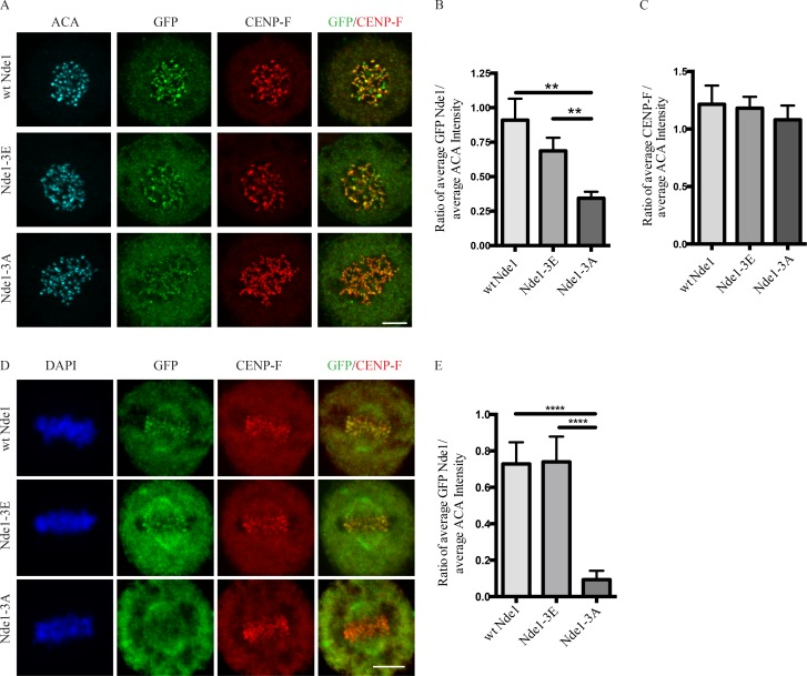 Effects of Nde1 phosphorylation on localization at unattached kinetochores. (A) Distribution of GFP-WT and phosphorylation-state mutant Nde1 in nocodazole-treated HeLa cells showing clear localization of each construct to kinetochores in the absence of MTs. The intensity of phosphomutant Nde1 appeared to be decreased relative to WT and phosphomimetic nde1. Bar, 5 µm. (B) Quantification of (anti-GFP vs. anti-ACA immunofluorescence intensity). Student's t test showed a significant decrease in phosphomutant Nde1 intensity relative to the other conditions. **, P