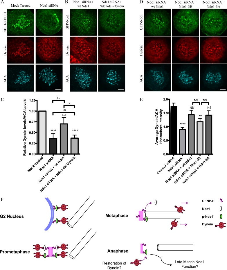 Requirement of <t>Nde1</t> for dynein recruitment to the kinetochore. (A) HeLa cells treated with Nde1 siRNA, exposed to nococazole, and immunostained for endogenous NDE1/NDEL1 or dynein intermediate chain. (B) Nde1 siRNA-treated HeLa cells rescued with expression of GFP WT Nde1 or GFP Nde1-del-dynein and stained for GFP and dynein intermediate chain. (C) Quantification of mean kinetochore dynein levels relative to mean ACA immunofluorescence signal. Dynein/ACA values were plotted ± SEM. Paired Student's t test was performed to analyze significance between conditions. (D) Nde1 siRNA-treated HeLa cells rescued by expression of WT Nde1, Nde1-3E, or Nde1-3A and stained for GFP and dynein intermediate chain. Bars, 5 µm. (E) Quantification of mean dynein intensity relative to mean ACA immunofluorescence signal. Mean ± SEM of three independent experiments is represented. Student's t tests were performed to analyze significance between conditions and revealed a significant difference in the levels of kinetochore dynein between Nde1 siRNA and WT Nde1, Nde1-3E, or Nde1-3A. *, P