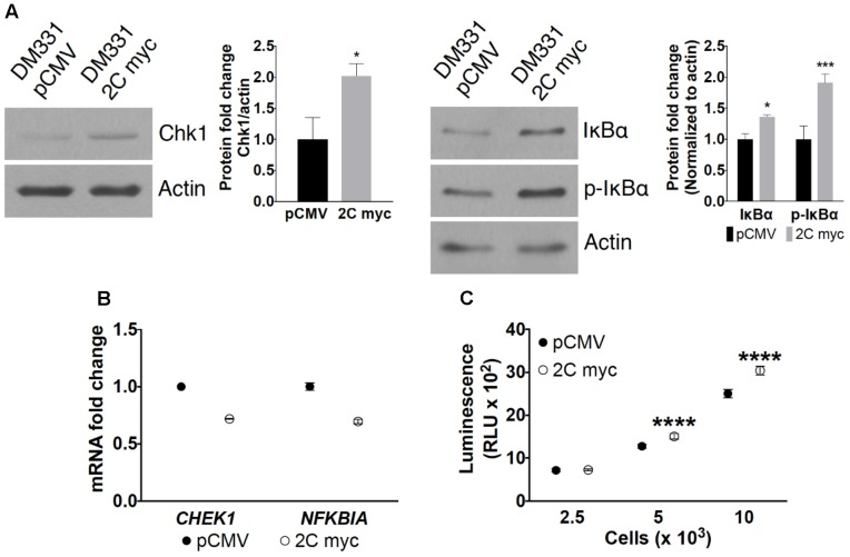 Effect of LAMP-2C expression on CMA substrates. (A) Cellular levels of CMA substrates Chk1, IκBα, and p-IκBα in DM331 pCMV and DM331 2C myc cells were examined by western blotting. Relative protein levels were calculated by setting the normalized expression to one for DM331 pCMV cells. (B) mRNA levels of CHEK1 and NFKBIA transcripts were analyzed by qPCR and normalized to ACTB expression. mRNA levels in DM331 pCMV cells were normalized and set to one. (C) <t>Proteasome</t> activity was measured using the Proteasome-Glo Chymotrypsin-Like Cell-Based Assay. Cells were incubated with a substrate succinyl-LLVY-aminoluciferin which penetrates into the cytoplasm. This substrate is cleaved by the proteasome to release aminoluciferin which is released from cells. Luciferase is added to these cells, cleaving aminoluciferin to a luminescent product detectable using a luminometer. Data were analyzed by two-way ANOVA or by two-tailed, unpaired Student's t -test. ∗ p