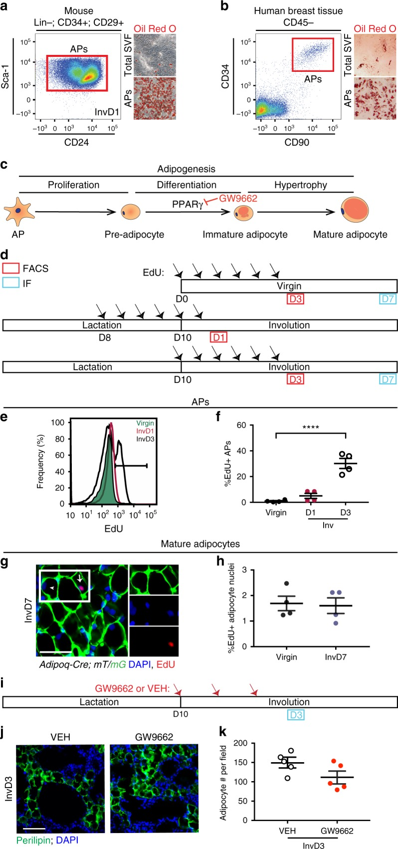 Evaluation of AP contribution to adipogenesis in mgWAT. a , b Representative flow cytometry plots of CD31−/CD45− (Lin−), CD34+, CD29+, Sca-1+, CD24± populations from the stromal vascular fraction (SVF) of fixed murine inguinal/mgWAT at involution day 1 ( a , left panel) or CD45−, CD34+, CD90+ cells within the SVF of human breast tissue ( b , left panel). Representative images of unpurified cells in total SVF or FACS purified adipocyte precursors (APs) from mice ( a , right panel) or humans ( b , right panel) after culturing in adipogenic media for 8 days ( a ) or 13 days ( b ) and staining with Oil Red O. n = 3 biological repeats. c Schematic summarizing stages of adipogenesis. d Experimental strategy to measure EdU incorporation in adipocyte precursors by FACS (as in e and f ), and in mature adipocytes (as in g , h ). e Representative flow cytometry plots of EdU signal in APs (as defined in a ) in virgin mice and at involution days 1 and 3. f The average percentage of EdU+ APs identified with flow cytometry as in e . n = 4 mice per time point, P = 0.51 for virgin vs. involution day 1 data. g, h Representative image ( g ) and quantification ( h ) of EdU immunofluorescence in Adi p oq-Cre; mT/mG mouse injected with EdU according to the timeline in d . Note EdU+ (arrow) and EdU− nuclei (arrowhead) in mGFP+ adipocytes. White box indicates insets. n = 200–800 nuclei in each of four mice per group, P = 0.84. i Experimental strategy to inhibit adipogenesis during involution using GW9662, a pharmacological antagonist of PPARγ. j , k Representative image ( j ) and quantification ( k ) of MGs from GW9662- and vehicle-treated mice, stained with a perilipin antibody and DAPI. N = 8–17 fields in each of five mice per treatment group, P = 0.09. Scale bar is 50 μm in g and j . Data are mean ± SEM. Statistics were performed using a one-way ANOVA with Tukey's multiple comparisons test ( f ) and a two-tailed unpaired t -test ( h , k ). **** P