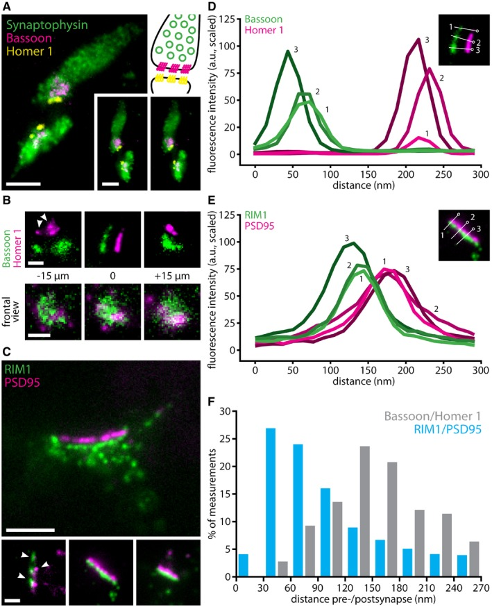 Multi‐color imaging with X10 reveals synaptic ultrastructure in cell culture Three‐color imaging resolves synaptic vesicle clusters (identified by Synaptophysin), along with pre‐synaptic active zones (identified by Bassoon) and post‐synaptic densities (identified by Homer 1). The panel at the top right gives a schematic overview of the organization of a synapse, for orientation (colors as in the fluorescence images). The two panels on the bottom right provide a stereo view of the synapses. Expansion factor: 11.0×. Scale bars: 500 nm (both). Upper panels: higher magnification images show the alignment of pre‐synaptic active zones and post‐synaptic densities, as well as the distance between them, in side view. Expansion factor: 11.0×. Scale bar: 200 nm. Lower panels: a z ‐stack through an additional synapse, in face view. Expansion factor: 11.0×. Scale bar: 200 nm. Representative images of an immunostaining for pre‐synaptic <t>RIM1/2</t> and post‐synaptic PSD95, two markers known to be more closely associated than Bassoon/Homer 1 24 . Arrowheads indicate nanocolumns of aligned pre‐ and post‐synaptic proteins. Expansion factor: 10.4×. Scale bars: 500 nm (upper panel), 200 nm (lower panels). Line scans through Bassoon staining (green) in pre‐synaptic active zones and through Homer 1 staining (magenta) in the corresponding post‐synaptic densities reveal the distance between the two. The image inset shows three example line scans and identifies them by number. Line scans through RIM1/2 staining (green) in pre‐synaptic active zones and through PSD95 staining (magenta) in the corresponding post‐synaptic densities reveal the distance between the two. The image inset shows three example line scans and identifies them by number. Histogram showing the distribution of Bassoon to Homer 1 distances and RIM1/2 to PSD95 distances ( n = 15 neuronal areas, with the corresponding synapses, for Bassoon and Homer 1, n = 74 neuronal areas for RIM1/2 and PSD95).