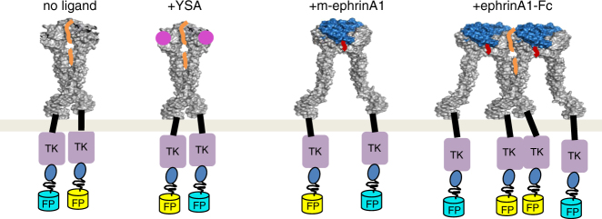 Cartoon representation of the findings: EphA2 can associate into two types of dimers as well as clusters, depending of the nature of the activating ligand. TK tyrosine kinase, FP fluorescent protein