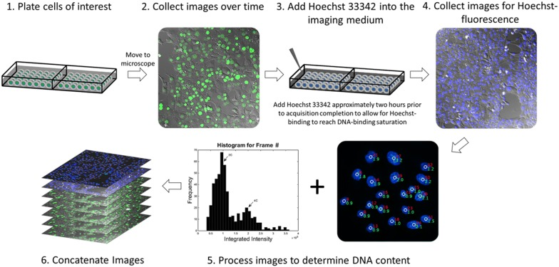 Procedural schematic for measuring DNA content in live cells. Cells of interest are plated in coverglass-bottom chambered slides and are later transferred to an inverted microscope for the collection of time-lapse images. The acquisition is then paused ~ 2 h before the completion of the time-lapse experiment and Hoechst 33342 is added to the imaging medium at a concentration of 1 μg/mL, the acquisition is then resumed. At the completion of the time-lapse experiment, images are collected for Hoechst 33342 fluorescence and analyzed with the ProcessDNA algorithm. The time-lapse images are then concatenated with the analyzed images for DNA content (steps 1–6)