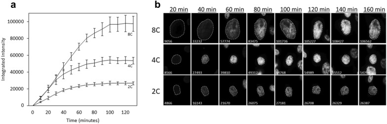 Determining the length of supravital dye saturation. Asynchronous cells were plated onto 8-well chambered slides and allowed 24 h to adhere. After the addition of Hoechst 33342 into the culture medium, fluorescent images were taken at 20-min intervals. a The integrated fluorescent intensity of cells with approximately 2C, 4C, and 8C DNA content are graphed over time, with error bars representing the standard deviation within groups. b Representative examples of cells with varying amounts of DNA content are presented in a time series with 20-min intervals. Located at the bottom left of each image are the integrated fluorescent units calculated at the corresponding time-point