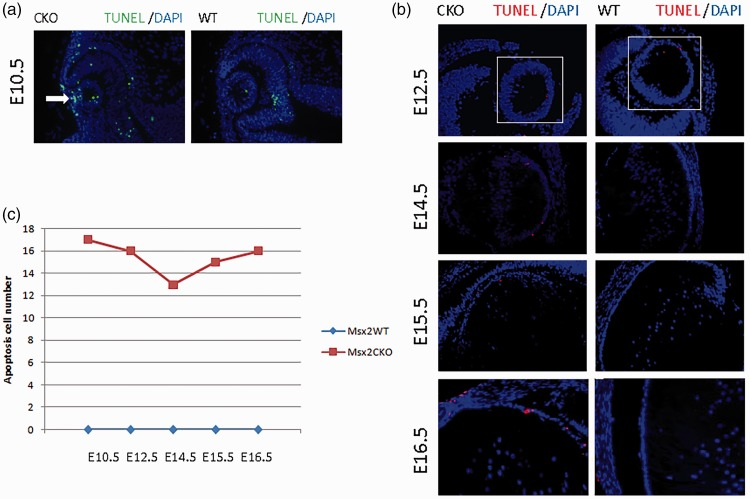 (a) At E10.5, a significantly higher level of lens epithelial cell apoptosis was observed that was mainly concentrated near the lens stalk in Msx2 CKO embryos. (b, c) From E12.5 to E16.5, very few apoptotic lens epithelial cells were observed in Msx2 WT mice, but the absolute number of lens epithelial cells undergoing apoptosis was significantly increased in Msx2 CKO mice compared with Msx2 WT mice.