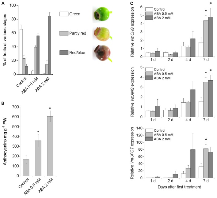 Effect of pre-harvest treatment with ABA on bilberry fruit color (A) , anthocyanin content (B) , and expression of anthocyanin biosynthetic genes (C) . Unripe green berries attached to plants were sprayed with 0.5 mM ABA, 2 mM ABA or water (control). Fruit color and anthocyanin content was evaluated after 7 days from the beginning of the experiment. Total anthocyanin content is expressed as milligrams of cyanidin-3-glucoside equivalents g -1 FW. Relative expression of the genes was quantified by qRT-PCR and normalized to VmGAPDH . Values represent means ± SEs of four replicates. Asterisks indicate significant differences from control in Student's t -Test ( P ≤ 0.05).