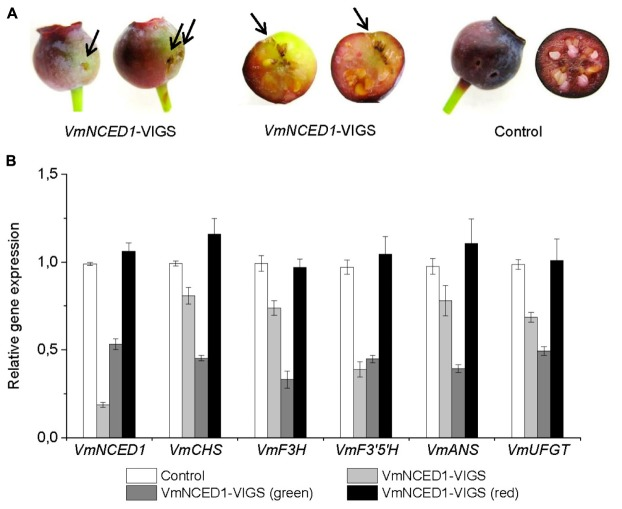 Effect of VmNCED1 silencing on anthocyanin biosynthesis in ripening bilberry fruit. Green unripe fruits still attached to the bilberry plants were injected with VmNCED1 -VIGS vector or pBINTRA6 vector only (control). Arrows indicate injection sites. Fruits were evaluated 4 weeks after injection for color (A) , and the expression of VmNCED1 and the key anthocyanin biosynthetic genes in intact fruits as well as in green and red sectors of chimeric fruits (B) . Relative expression of the genes was quantified by qRT-PCR and normalized to VmGAPDH . Values represent means ± SDs of three replicates.