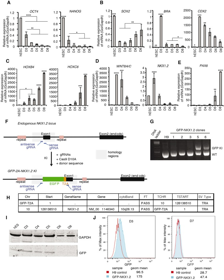RT-qPCR for selected genes during dSMADi-RA differentiation and generation of a GFP-Nkx1.2 reporter line. (A-E) RT-qPCR assessing relative expression of key marker genes in H9 cells exposed to the dSMADi-RA protocol ( Fig. 1 F). (A) Declining expression of the pluripotency genes OCT4 and NANOG . (B) SOX2 , BRA ( T ) and CDX2 expression dynamics. (C) HOXB4 and HOXC6 during differentiation. (D) Expression of the neural progenitor marker PAX6 . (E) WNT8A / C and NKX1 . 2 , which are characteristic of preneural progenitors and NMPs. **** P
