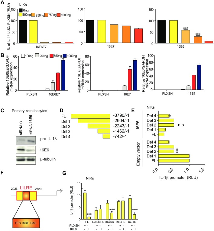 HPV16 E6 down-regulates the IL-1β promoter in cervical cells via the ISRE site. (A) NIKs were co-transfected with the IL-1β promoter with increasing concentrations of pLXSN HPV16E6E7 or 16E6 or 16E7 as indicated. After 48 h, cells were harvested and luciferase activity was measured. n = 5. (B) Relative expression of 16E6E7, 16E6 or 16E7 were measured by RT-qPCR. n = 5. (C) Primary human keratinocytes transduced with 16E6 and treated with a scramble or siRNA against 16E6. Protein levels of pro-IL-1β and loading control β-tubulin were evaluated by immunoblotting. n = 4. (D) Schematic representation of IL-1β promoter luciferase deletion mutations. (E) WT and deleted IL-1β promoter constructs were transiently transfected into NIKs expressing pLXSN or 16E6. After 48 h, cells were harvested and luciferase activity was measured. n = 4. (F) Schematic representation of the IL-1β LILRE site. (G) WT and deleted or mutated IL-1β promoter constructs were transiently transfected into NIKs expressing pLXSN or 16E6. After 48 h, cells were harvested and luciferase activity was measured. n = 4. Data are representative of n independent experiments performed in triplicate. Panel A and B shown are the mean ± SEM with ***, P