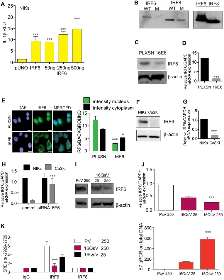 IRF6 and not IRF8 is recruited to the IL-1β promoter which is blocked by HPV16E6. (A) HEK293 cells were co-transfected with IL-1β promoter luciferase construct along with the empty vector pUNO, IRF8 or IRF6 plasmid at the indicated concentration. Post 48 h cells were lysed and luciferase activity measured. n = 4. (B) Oligo pulldown assay for WT or the mutated ISRE site using protein lysates from HEK293 cells transfected with IRF6 or IRF8. Bound proteins were assessed by immunoblotting for IRF8 or IRF6. Input controls (10%). n = 4. (C) Immunoblot analysis of IRF6 protein levels in in pLXSN and 16E6 transduced human primary keratinocytes. n = 4. (D) IRF6 relative levels were measured in pLXSN, 16E6 and 16E7 transduced human primary keratinocytes by RT-qPCR. n = 4. (E) Immunofluorescent staining of IRF6 in human keratinocytes transduced with pLXSN or HPV16E6. Left, semi-quantative analysis of IRF6 was examined by calculating immunofluorescent intensity. The mean and S.E.M of five fields were plotted. n = 4. (F) Immunoblot analysis of IRF6 protein levels in C33A and NIKs. n = 4. (G) IRF6 mRNA levels detected by RT-qPCR in NIKs and CaSki cells. n = 4. (H) NIKs and CaSki cells were co-transfected with IL-1β promoter luciferase construct ± siRNA for 16E6. Post 48 h cells were lysed and luciferase activity measured. (I) C33A cells were treated with control PsV or 16QsV at different v.g.e per cell for 24 h and IRF6 protein levels were examined by immunoblot. n = 3. (J) C33A cells were treated with control PsV or HPV16 at different v.g.e for 24h and IRF6 mRNA levels were examined by RT-qPCR and (below) viral DNA expression of E7 vs β2-microgloubulin. n = 3. (K), ChIP using IgG, IRF6 or IRF8 antibodies was performed for the ISRE site on C33A cells infected with HPV16 or PsV for 24 h. n = 3. Data are representative of n independent experiments performed in triplicate. Panels A, E, J and K are shown as the mean ± SEM with ***, P