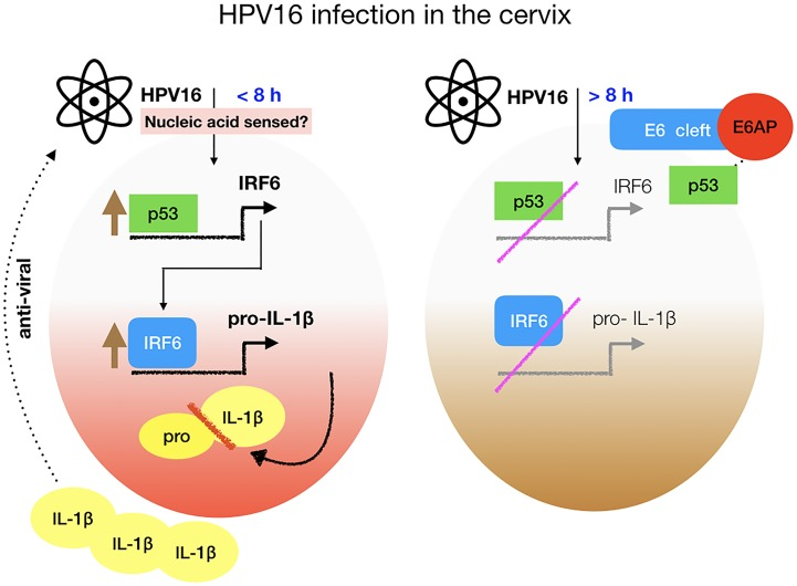 Model representing the induction and inhibition of <t>IL-1β</t> by HPV16. Infection of the basal keratinocytes with HPV16 induces inflammasome dependent IL-1β production sensed by an unknown innate receptor. p53 transcriptional regulation of IRF6 is increased, which we show drives IL-1β transcription. The pro form of IL-1β is cleaved by caspase 1 (red bar). The active form of IL-1β can block the increase in viral copies. However, when the oncoprotein E6 is expressed this drives p53 degradation by E6AP preventing IRF6 and consequently IL-1β transcription. This mechanism of viral inhibition of innate responses may contribute to HPV16 persistence in the host.