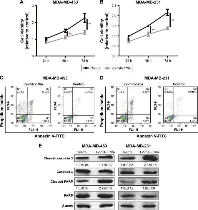 miR-376a overexpression inhibits breast cancer cell proliferation and promoted cell apoptosis. Notes: ( A and B ) MDA-MB-453 and MDA-MB-231 cells with miR-376a overexpression or not were subjected to analyze the cell viability by CCK8 assay. ( C and D ) Cell apoptosis was detected in cells depicted in ( A ). ( E ) The expression of apoptosis executors (cleaved caspase 3 and cleaved PARP) was examined in cells depicted in ( A ). Data are presented as mean±SD; * P