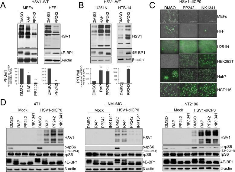 Active-site mTOR inhibitors (asTORi) augment HSV1 infection specifically in transformed cells. (A) Primary mouse embryonic fibroblasts (MEFs), human foreskin fibroblasts (HFF), and (B) human glioblastoma cell lines U251N and HTB-14 were pretreated with DMSO, rapamycin (RAP 100nM), or the asTORi PP242 (2μM) for 30min followed by infection with wild type HSV1 at a MOI of 0.1 for 48 hours in presence of the inhibitors. Viral infection was monitored by Western blot using antibodies against HSV1 antigens (top panel - 4E-BP1 and β-actin expression were used to monitor drug efficacy and loading, respectively), and plaque titration (bottom panel—results are presented as titers normalized to DMSO control set at 100% ± SD (n = 3)). (C) Non-transformed MEFs and HFF, as well as different transformed human cell lines, were infected with GFP-expressing HSV1-dICP0 for 48 hours at a MOI of 0.1. Resulting infection was assessed by fluorescence microscopy. (D) Transformed (4T1 and NT2196) and non-transformed (NMuMG) mouse mammary cell lines were pretreated with DMSO, rapamycin (100nM), PP242 (2μM) or INK1341 (100nM) for 30 min followed by infection with a GFP-expressing HSV1-dICP0 (0.1 MOI for 48 hours in presence of the inhibitors). Viral protein synthesis was monitored by Western blot against HSV1. Drug efficacy was monitored by phosphorylation of <t>rpS6</t> and 4E-BP1. Total rpS6 and β-actin expression were used as loading controls.