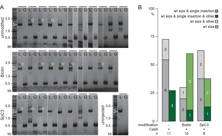 5'Biotin modification of long dsDNA donors strongly enhances HDR-mediated integration. ( A ) rx2 locus PCR genotyping of individual GFP-Rx2 positive embryos injected with unmodified or 5'Biotin or Spacer C3 modified long dsDNA gfp donor cassettes (green asterisk, single-copy HDR-mediated integration of gfp , 2547 bp, open arrowhead, rx2 allele without gfp integration, 1719 bp;). Horizontal bar, individual embryo; L, rx2 locus PCR with rx2 Lf/rx2 Lr; G, gfp internal PCR for control with Gf/Gr. ( B ) Qualitative summary of band spectrum (single-copy HDR-mediated gfp integration, rx2 allele without gfp integration, other) resulting from PCR genotyping in ( A ). n, number of genotyped GFP-Rx2 expressing embryos.