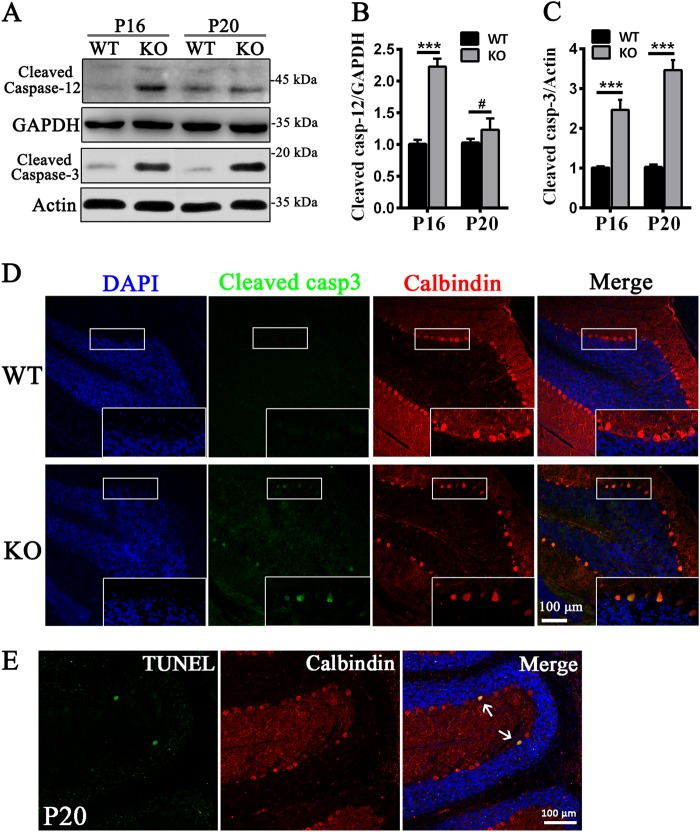 Activation of apoptosis in Tmem30a KO mice. a – c Western blots a and quantitation b , c manifested the elevated expression of cleaved <t>caspase-12</t> and cleaved caspase-3 in cerebellum of WT and KO mice at P16 and P20, respectively, and GAPDH antibody as loading control. ( n = 6,***, p