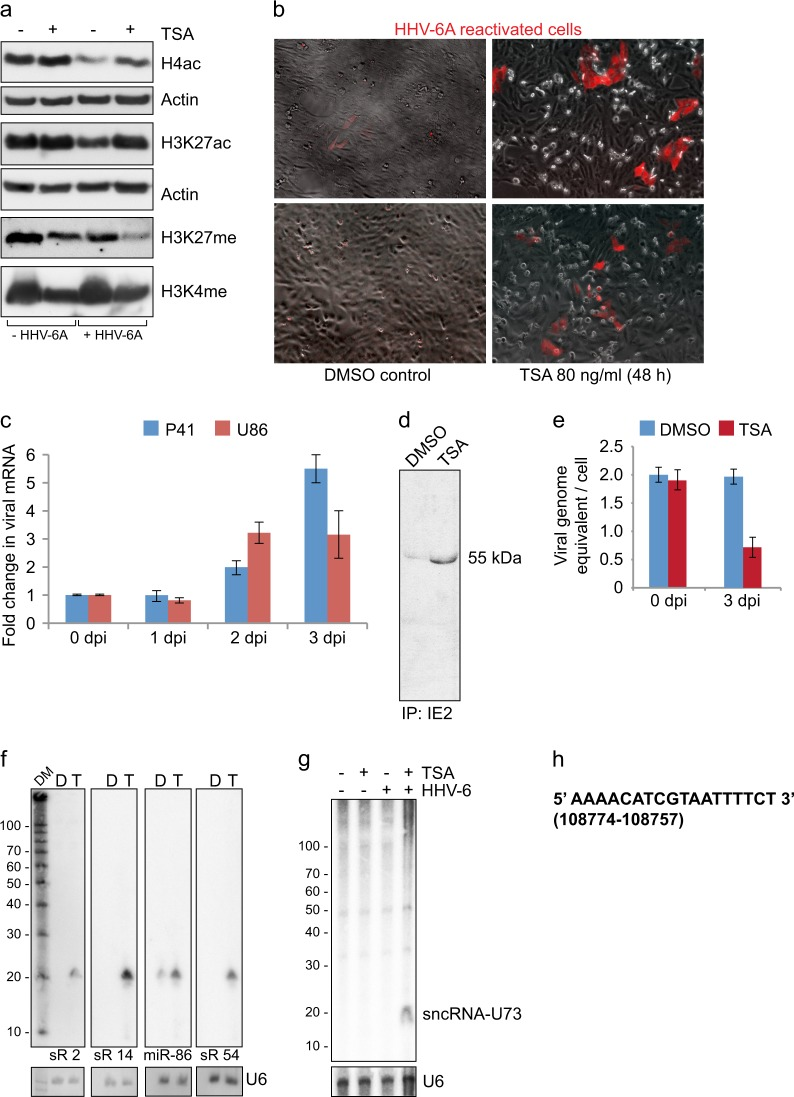 Characterization of HHV-6 reactivation. a Trichostatin A (TSA) induced histone acetylation in U2OS cells. TSA (80 ng/ml) was added to U2OS cell culture media for 24 h to induce histone acetylation. Total protein was extracted and used for immunoblotting. Histone H4 pan acetylation (H4ac), Histone 3 K27 acetylation (H3K27ac), Histone 3 K27 methylation (H3K27me) and Histone 3 K4 methylation (H3K4me) were studied using specific antibodies. Actin was used as loading control. U2OS cells without HHV-6 (-HHV-6A) were used as control. b TSA treatment induced expression of RFP in latent HHV-6A carrying U2OS cells. Microscopic evaluation was carried out for RFP expression in U2OS cells carrying latent HHV-6A. Cells were treated with DMSO in parallel as a solvent control. c TSA-induced HHV-6A reactivation was quantified by qRT-PCR analysis of two early viral transcripts (p41 and U86). U2OS cells carrying latent HHV-6A were treated with 80 ng/ml of TSA for three different time intervals. Total RNA was extracted and were used for cDNA synthesis and subsequent RT-PCR. Data represent the mean ± SEM of three independent experiments. dpi, days post infection. d Immunoprecipitation (IP) of HHV-6 IE2 protein was carried out to test immediate early protein synthesis. U2OS cells carrying latent HHV-6A were treated with DMSO or TSA for 2 days. Total cell lysates were extracted and used for immunopreciptation. A smaller ~ 55 kDa fraction of IE2 was detected in IP. e Viral DNA replication was studied by qPCR. U2OS cells carrying latent HHV-6A were treated with 80 ng/ml of TSA or DMSO for two different time intervals. Total genomic DNA was extracted and were used for qPCR analysis. Data represent the mean ± SEM of three independent experiments. dpi, days post infection. f Detection of several different HHV-6A encoded small non-coding RNAs by Northern hybridization. U2OS cells carrying latent HHV-6A were treated with 80 ng/ml of TSA (T) or DMSO (D) for 48 h. 10 μg of total RNA were separated