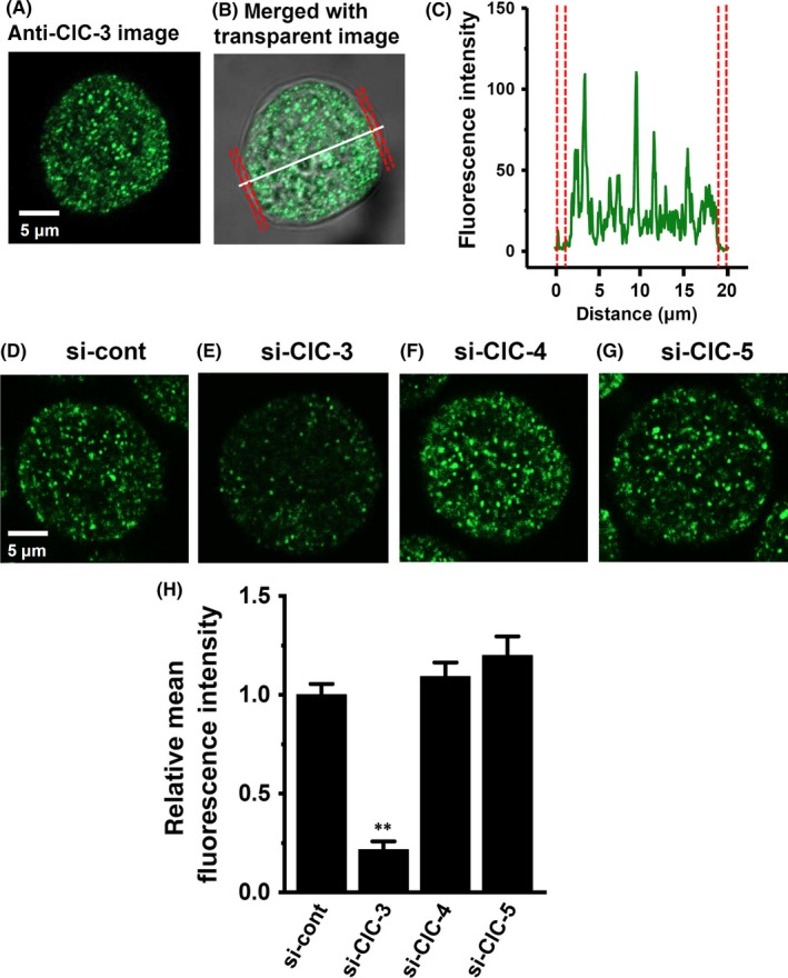 """Cellular distribution of ClC‐3 in MDA‐MB‐453 cells. (A‐C) Immunocytochemical staining of MDA‐MB‐453 cells for ClC‐3. A, Confocal images of a cell labeled with anti‐ClC‐3 and Alexa Fluor 488 anti‐rabbit IgG antibodies. B, a fluorescent image merged with a transparent image. C, the profile of fluorescence intensity on the white dotted line in (B) is shown in """"green"""". The plasma membrane is shown in 'red'. D‐H, ClC‐3 fluorescent images in control siRNA (si‐cont) (D)‐, ClC‐3 siRNA (si‐ClC‐3) (E)‐, ClC‐4 siRNA (si‐ClC‐4) (F)‐, and ClC‐5 siRNA (si‐ClC‐5)‐transfected MDA‐MB‐453 cells for 72 h. Mean fluorescent intensity in the si‐cont group was expressed as 1.0 (n = 24 for each); summarized data are shown in (H). Results are expressed as means ± SEM. ** P"""