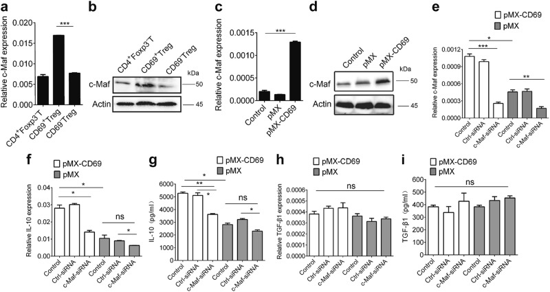 c-Maf is critical for CD69-induced IL-10 expression. a , b CD69 + Tregs, CD69 − Tregs and CD4 + Foxp3 − T cells were isolated from Foxp3 GFP knock-in mice and the relative mRNA and protein levels of c-Maf in were analyzed by real-time RCR and western blot. c , d 1 × 10 6 /ml EL4 cells were infected with control retrovirus pMX or pMX-CD69 at MOI of 50 for 48 h to induce CD69 over-expression and the GFP positive cells were harvested. The relative mRNA and protein levels of c-Maf were analyzed by real time RCR and western blot. e – i The levels of c-Maf, IL-10, and TGF-β1 expression in CD69 overexpressing EL4 cells transfected with c-Maf siRNA or control siRNA were detected by real-time PCR and ELISA. Date are representative images or expressed as the mean ± SD of three independent experiments. * P