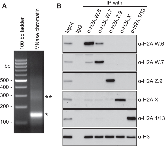 Arabidopsis H2A nucleosome are homotypic. ( A ) DNA isolated from MNase digested nuclei demonstrating almost complete digestion of chromatin into mononucleosomes (*). Small proportion of chromatin was digested into dinucleosomes (**). ( B ) Extracts from MNase digested nuclei were immunoprecipitated with antibodies against H2A.W.6, H2A.W.7, H2A.1/13, H2A.X and H2A.Z.9 histone H2A variants and analyzed by western blotting with indicated antibodies. Detection of H3 is used as a control for nucleosome integrity. In this particular experiment we observed that H2A.W.6 nucleosomes contained 19% of heterotypic nucleosomes with H2A.W.7 and H2A.W.7 nucleosomes contained 15% of heterotypic nucleosomes with H2A.W.6. (Note that antibody against the canonical H2A recognizes two variants H2A.1 and H2A.13 ( 22 ).)