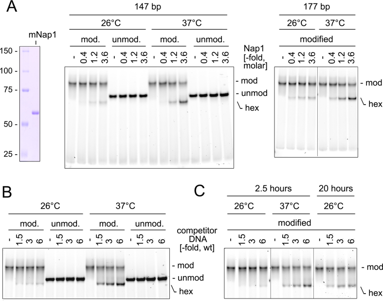 Eviction of histone dimer in H2B K34ub nucleosome by histone dimer acceptors. ( A ) Left panel: SDS-PAGE of NAP1. Middle, right panels: unmodified and H2B K34ub nucleosomes assembled on a 147 or 177 bp 601 DNA were post-assembly incubated with NAP1 for 2.5 h at 26 or 37°C in a buffer containing 100 mM NaCl. ( B ) Nucleosomes assembled on 147 bp 601 DNA were post-assembly incubated with competitor DNA for 2.5 h at 26/37°C in a buffer containing at 100 mM NaCl. ( C ) H2B K34ub nucleosomes assembled on 147 bp 601 DNA were post-assembly incubated with competitor DNA at 26/37°C for 2.5 h or at 26°C for 20 h (the '20 h' and '2.5 h' samples were resolved in different gels).