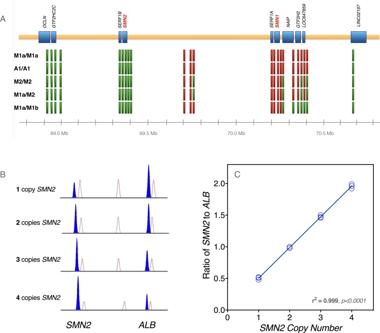 Characterization of SMA haplotypes. (A) To characterize the extent of SMN1 deletions, we performed PCR on loci that mapped to multiple sites in the region. By selecting amplicons which exhibited sequence changes between loci, we were able to assess the presence or absence of each locus after PCR amplification and Sanger sequencing. Green blocks represent loci that were present, and red blocks denote deleted loci. The samples (i.e. haplotype combinations) are listed on the left side of the figure. (B) Competitive PCR was used to calculate SMN2 copy number in our patient cohort. Samples were subjected to multiplex PCR with limiting deoxynucleotide triphosphates and the resulting amplicons were size-fractionated on an <t>ABI</t> 3130 Genetic Analyzer. Samples with greater SMN2 copy number demonstrated increased generation of SMN2 -specific product versus an internal control locus (albumin gene, ALB ). (C) The area under the curve for each amplicon, as provided by the Sequencing Analysis software, was used to calculate the ratio of SMN2 -specific product to ALB product. For SMN2 copy number from 1–4, three separate samples were PCR amplified and analyzed, and the SMN2/ALB ratios were highly correlated with SMN2 copy number.