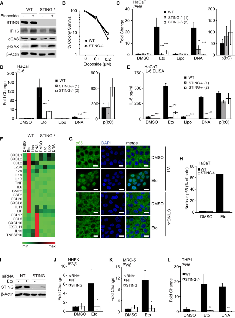 STING Is Required for the Innate Immune Response to Etoposide-Induced DNA Damage (A) Wild-type (WT) and STING −/− HaCaT cells were treated with DMSO or 50 μM etoposide for 6 hr, and protein expression was analyzed by immunoblotting. (B) Clonogenic survival assay of WT and STING −/− HaCaT cells. Numbers of colonies > 50 cells were counted and expressed as a percentage of untreated control. (C and D) WT HaCaT and two STING −/− clones were treated with DMSO or 50 μM etoposide, mock transfected (Lipo), or transfected with 1 μg/mL HT-DNA or 100 ng/mL poly(I:C) for 6 hr before qRT-PCR analysis of IFN-β (C) and IL-6 (D) mRNA expression. (E) ELISA analysis of IL-6 secretion in supernatants from cells treated as in (C) for 24 hr. (F) qRT-PCR array analysis of cytokine and chemokine expression in WT and STING −/− HaCaT cells treated with DMSO, 50 μM etoposide, Lipofectamine, or 1 μg/mL HT-DNA for 6 hr. Shown are genes induced at least 2-fold over controls. (G and H) WT and STING −/− HaCaT cells grown on coverslips were treated with 50 μM etoposide for 4 hr and stained for NF-κB p65 (green) and DNA (DAPI, blue) for analysis by confocal microscopy (G) and quantification of p65 nuclear translocation (H). Scale bar, 20 μm. (I and J) NHEKs were treated with non-targeting (NT) or STING -targeting siRNA pools for 48 hr before treatment with 50 μM etoposide for 24 hr. STING protein levels were analyzed by immunoblotting (I), and IFN-β mRNA expression was quantified by qRT-PCR (J). (K) MRC-5 fibroblasts were treated with non-targeting (NT) or STING -targeting siRNA pools for 48 hr before treatment with 50 μM etoposide for 6 hr and analysis of IFN-β mRNA by RT-PCR. (L) PMA-differentiated WT and STING −/− THP1 cells were stimulated with 50 μM etoposide for 30 hr or 1 μg/mL HT-DNA for 6 hr before qRT-PCR analysis of IFN-β mRNA. Data are presented as mean values of biological triplicates ± SD. See also Figures S2 and S3 A–S3F.