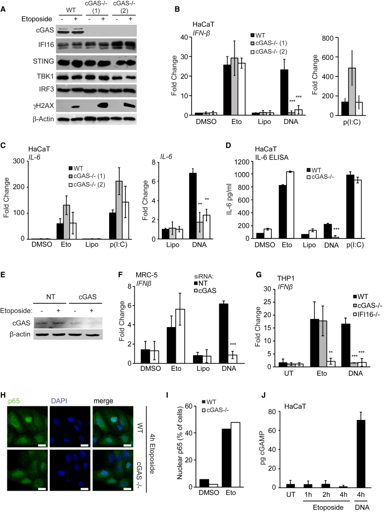 cGAS Is Dispensable for the Early Innate Immune Response to Nuclear DNA Damage (A) Immunoblotting analysis of WT and two cGAS −/− HaCaT clones treated with DMSO or 50 μM etoposide for 6 hr. (B and C) WT and cGAS −/− HaCaT cells were treated with DMSO or 50 μM etoposide, mock transfected (Lipo), or transfected with 1 μg/mL HT-DNA or 100 ng/mL poly(I:C) for 6 hr before qRT-PCR analysis of IFN-β (B) and IL-6 (C) mRNA expression. (D) IL-6 in supernatants from WT and cGAS −/− HaCaT cells treated with 50 μM etoposide quantified by ELISA. (E) MRC-5 fibroblasts were treated with non-targeting (NT) or cGAS -targeting siRNA pools for 48 hr before treatment with 50 μM etoposide for 6 hr. cGAS protein expression was analyzed by western blot. (F) qRT-PCR analysis of IFN-β mRNA expression in MRC-5 fibroblasts treated with siRNA as in (E) and stimulated with 50 μM etoposide or transfected with 1 μg/mL HT-DNA for 6 hr. (G) PMA-differentiated WT, cGAS −/− , and IFI16 −/− THP1 cells were treated with 50 μM etoposide for 30 hr or 1 μg/mL HT-DNA for 6 hr before qRT-PCR analysis of IFN-β mRNA. (H) WT and cGAS −/− HaCaT cells grown on coverslips were treated with 50 μM etoposide for 4 hr, stained for p65 (green) and DNA (DAPI, blue), and visualized by confocal microscopy. Scale bar, 20 μm. (I) Quantification of p65 translocation from (H). (J) HaCaT cells were treated with 50 μM etoposide for the indicated times or transfected with 1 μg/mL HT-DNA for 4 hr. cGAMP production was quantified by LC-MS. Data are presented as mean values of biological triplicates ± SD. See also Figure S4 .