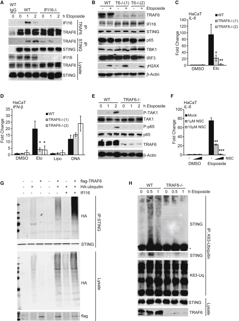 TRAF6 Mediates the K63-Linked Poly-ubiquitylation of STING (A) Immunoprecipitation of TRAF6 and STING from WT and IFI16 −/− HaCaT cells treated with 50 μM etoposide as indicated. Immunoprecipitates (IP) with immunoglobulin G (IgG) control and input lysates were analyzed by immunoblotting. (B) WT and two TRAF6 −/− HaCaT clones were treated with 50 μM etoposide for 6 hr, and protein expression was analyzed by immunoblotting. (C) qRT-PCR analysis of IL-6 mRNA expression in cells treated as in (B). (D) WT and TRAF6 −/− HaCaT cells were treated with 50 μM etoposide or DMSO, mock transfected (Lipo), or transfected with 1 μg/mL HT-DNA for 6 hr before qRT-PCR analysis of IFN-β mRNA. (E) Immunoblotting analysis of WT and TRAF6 −/− HaCaT cells treated with 50 μM etoposide for the indicated times. (F) HaCaT cells were pre-treated for 1 hr with the indicated concentrations of Ubc13 inhibitor NSC697923 (NSC) before 6 hr of stimulation with 50 μM etoposide. IL-6 mRNA expression was quantified by qRT-PCR. (G) HEK293T cells were transfected with plasmids for the expression of IFI16, FLAG-tagged TRAF6, and hemagglutinin (HA)-tagged ubiquitin as indicated. 24 hr after transfection, STING was immunoprecipitated, and proteins in immunoprecipitates and input lysates were analyzed by immunoblotting. (H) Immunoprecipitation of K63-linked ubiquitin chains from WT and TRAF6 −/− HaCaT cells treated with 50 μM etoposide for the times indicated. Higher molecular weight forms of modified STING are visualized by gradient SDS-PAGE above the antibody heavy chain ( ∗ ), top panel, together with the association of unmodified STING, lower panel. See also Figure S7 .