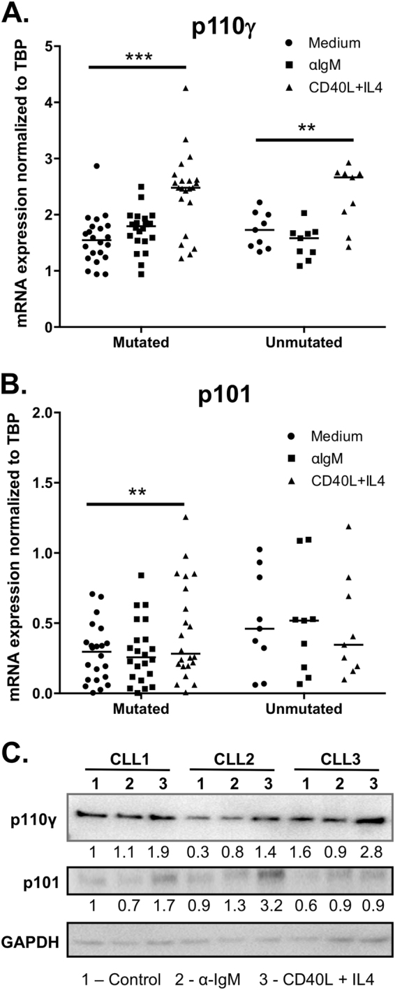 Expression of PI3Kγ subunits in malignant B cell lines and CLL patient samples. a , b CLL cells were stimulated with F(ab′) 2 α-IgM (10 µg/ml) or CD40L/IL-4 (50 ng/ml each) and harvested 24 h later for RNA extraction and RT-qPCR analysis. mRNA expression of a p110γ and b p101 were determined, and expression levels were normalized against the expression of TATA box-binding protein (TBP). Patients were divided into indolent vs. progressive groups based on IgVH mutation status. c Protein expression of p110γ and p101 in CLL samples in response to BCR stimulation or CD40L/IL-4 stimulation. Data are representative of nine patients analyzed