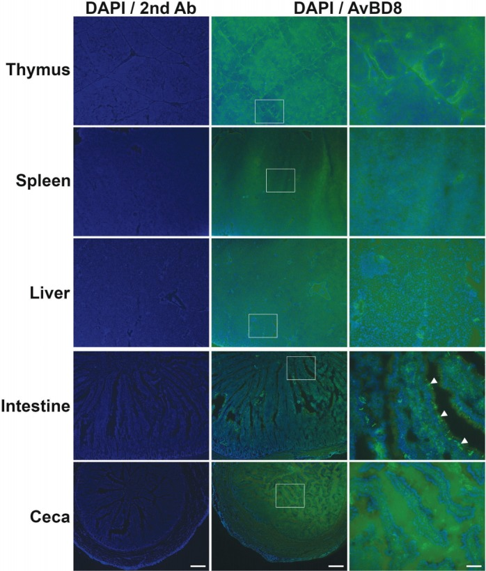 Determination of AvBD8 protein expression in immune tissues of male WL chickens by performing immunohistochemical analysis. Immunohistochemical analysis was performed to assess AvBD8 protein expression in the thymus, spleen, liver, small intestine, and ceca of male WL chickens aged 25 weeks. Frozen sections were incubated with the rabbit anti-AvBD8 primary antibody, followed by incubation with the Alexa Fluor 488-conjugated goat anti-rabbit IgG secondary antibody, and were counterstained with 4′,6-diamidino-2-phenylindole. Control sections were incubated with secondary antibody only. Boxed region in the middle column is enlarged in the right column. AvBD8, avian beta-defensin 8; WL, White Leghorn; IgG, immunoglobulin G. Scale bar: 200 μm (left and middle columns) and 50 μm (right column). Arrowheads indicate strong AvBD8 signal in the intestinal mucosal layer.