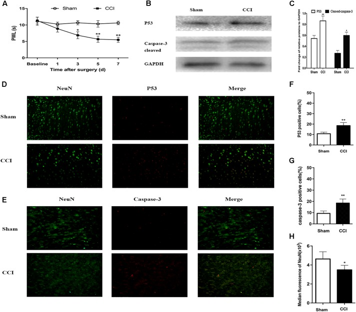 Chronic constriction injury (CCI)-induced hyperalgesia and expression of p53 and caspase-3 in dorsal root ganglion (DRG) neurons. (A) Compared to the sham group mice, the CCI mice had decreased paw withdrawal latency (PWL) from day 3 after surgery. (B) Western blot analysis of the expression of p53 and caspase-3 on day 7 after CCI or sham surgery. The fold change of p53 and caspase-3 was normalized to the glyceraldehyde 3-phosphate dehydrogenase (GAPDH) level. (C) Quantification of p53 and caspase-3 expression. Double immunofluorescence staining for p53 and caspase-3 in DRG neurons. (D) Representative immunofluorescence staining of p53 (red) and its colocalization with neurons (NeuN, green) in DRG tissues. (E) Representative immunofluorescence staining of caspase-3 (red) and its colocalization with neurons (NeuN, green) in DRG tissues. (F,G) Quantitative analysis of p53-positive and caspase-3-positive cells (%) in DRG tissues at 7 days after CCI. (H) Median fluorescence of NeuN. Magnification: 100× for all columns. Data are all expressed as mean ± SD. ∗ P