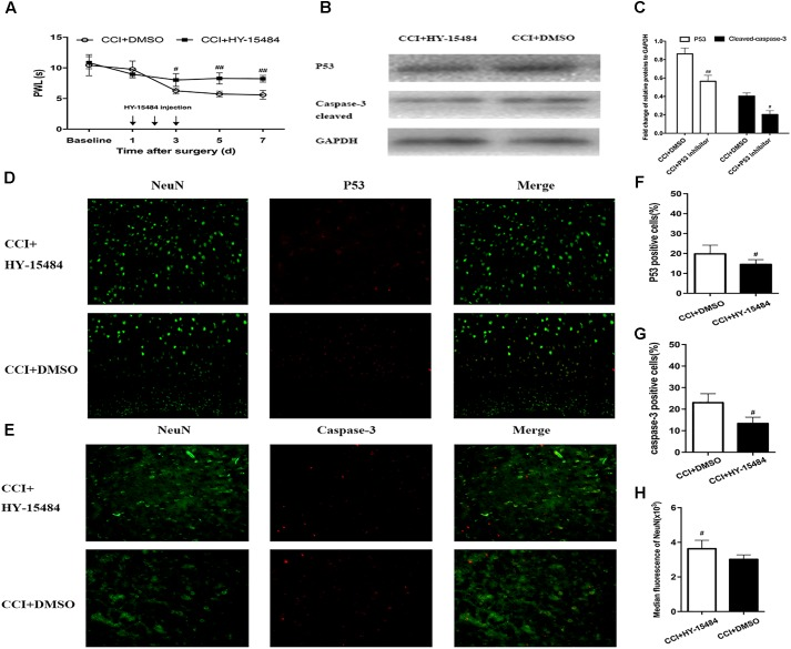 Inhibition of p53 by pifithrin-α (HY-15484) restrained the pain behaviors and expression of p53 and caspase-3 in dorsal root ganglion (DRG) neurons. (A) Thermal hyperalgesia after intrathecal injection of pifithrin-α (10 μg). Pifithrin-α attenuated chronic constriction injury (CCI)-induced thermal hyperalgesia, compared with that in the CCI + DMSO group. (B) Western blot analysis of the expression of p53 and caspase-3 after intrathecal administration of pifithrin-α on day 7 after CCI. The fold change of p53 and caspase-3 levels was normalized to the glyceraldehyde 3-phosphate dehydrogenase (GAPDH) level. (C) Quantification of p53 and caspase-3 expression. Double immunofluorescence staining for p53 and caspase-3 in DRG neurons after intrathecal administration of pifithrin-α on day 7 after CCI. (D) Representative immunofluorescence staining of p53 (red) and its colocalization with neurons (NeuN, green) in DRG tissues. (E) Representative immunofluorescence staining of caspase-3 (red) and its colocalization with neurons (NeuN, green) in DRG tissues. (F,G) Quantitative analysis of p53-positive and caspase-3-positive cells (%) in DRG tissues at 7 days after intrathecal administration of pifithrin-α in the CCI model. (H) Median fluorescence of NeuN. Magnification: 100× for all columns. Data are all expressed as mean ± SD. # P