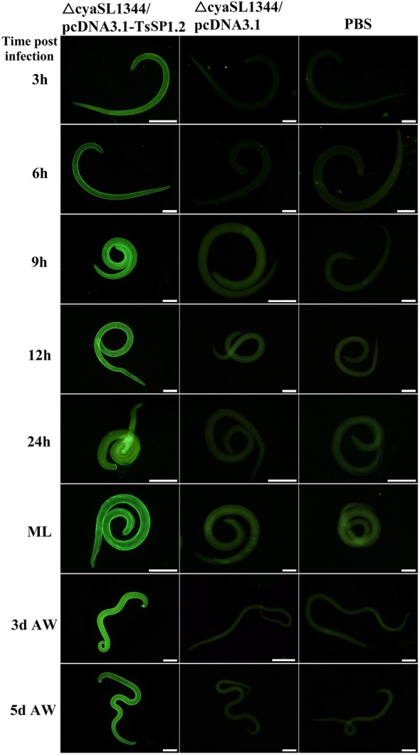 Recognition of native TsSP1.2 on the surface of various T. spiralis phases by IFT with serum of mice immunized with Salmonella ΔcyaSL1344/pcDNA3.1-TsSP1.2, plasmid alone or PBS. Scale bar = 100 μm.