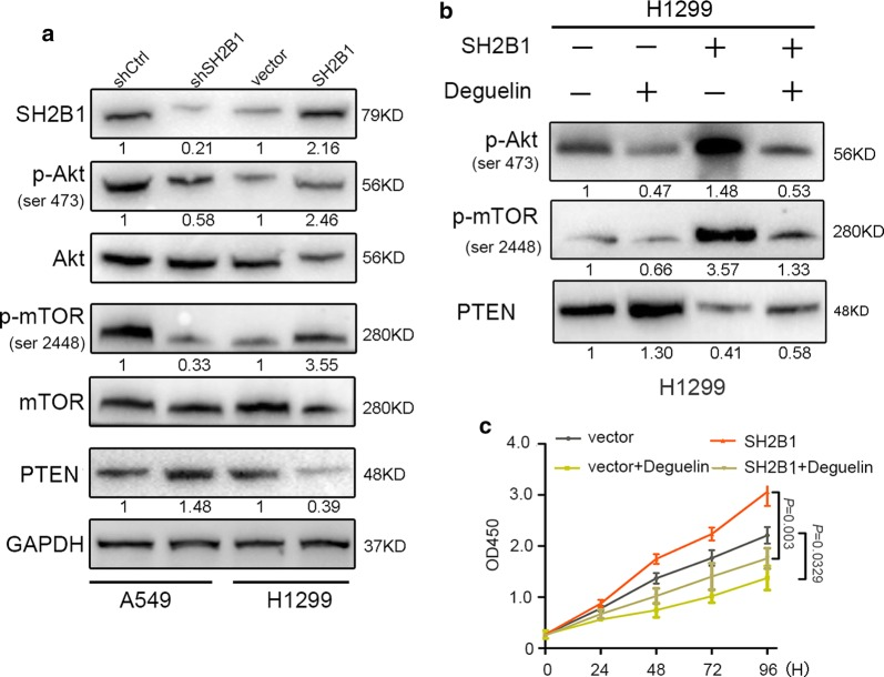 SH2B1 regulates NSCLC cell proliferation through Akt/mTOR pathway in vitro. a , b The effect of SH2B1 on Akt/mTOR signaling. a The protein levels of SH2B1, p-Akt, p-mTOR and PTEN in different panels of A549 and H1299 cells were assayed by Western blotting. b The protein levels of Akt/mTOR pathway targets (p-Akt, p-mTOR and PTEN) in different panels of H1299, which were subjected or not subjected to a Akt inhibitor, 10 μm/l deguelin for 24H, were assayed by Western blotting. Experiments were repeated three times and representative pictures are shown for a and b . GAPDH is used as an internal control. c CCK8 assay indicated that deguelin impaired the effect of SH2B1 on cell proliferation. Results are presented as mean ± SD