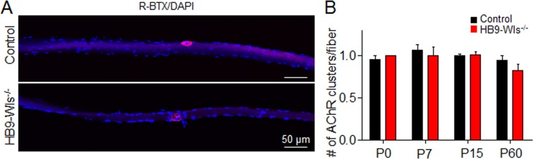 Wls loss in motoneuron does not enhance synapse number in single muscle fiber. ( A ) Representative images of individual gastrocnemius muscle fibers of 2-month-old control and HB9-Wls -/- mice. To visualize AChR clusters on single muscle fibers, gastrocnemius was fixed in 4% PFA and stained with R-BTX (Red) and DAPI (Blue) to show AChR clusters and myonuclei. Muscles were washed three times in PBS and teased into single fibers and mounted in Vectashield mounting medium. We counted the number of AChR cluster in each single muscle fiber and defined that synapse elimination was impaired when more than one AChR cluster was found after P15. ( B ) Quantitative analysis of NMJ number per muscle fiber. NMJ number per muscle fiber was comparable between control and HB9-Wls -/- mice at P0, P7, P15, and P60. n = 3 mice per group. Unpaired t-test, p > 0.05.